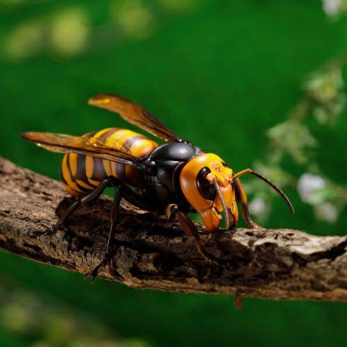 リボジオ オオスズメバチ(21年9月再販)